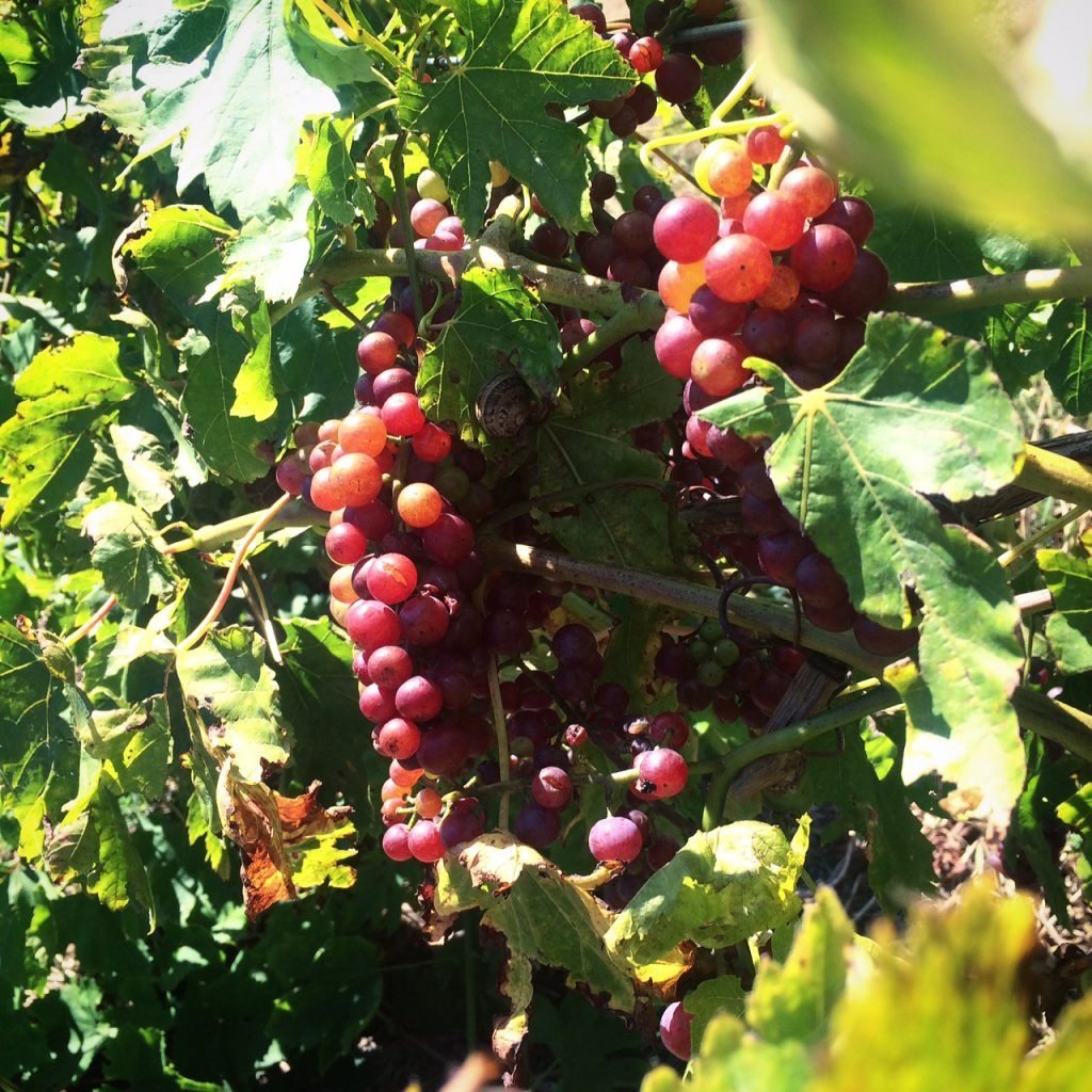 These grapes made for great snacking in the garden this July!