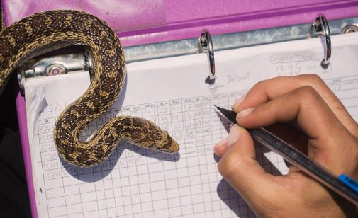Dr. Amanda Sparkman makes a measurement of a snake while at the Channel Islands (Photo: Eirini Pajak)