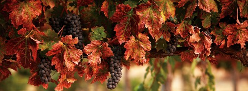 A vineyard in autumn